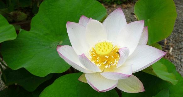 スマホ用アイコン蓮の花